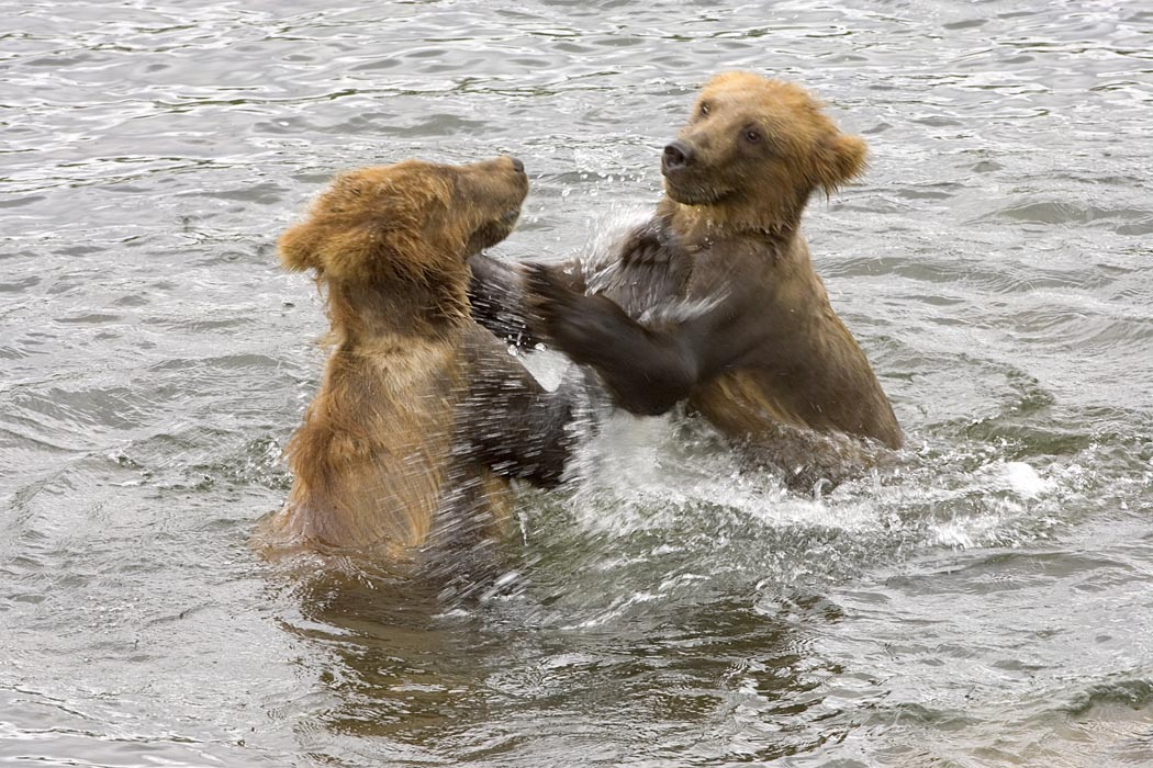 Brown_bear_cubs_playing_in_water